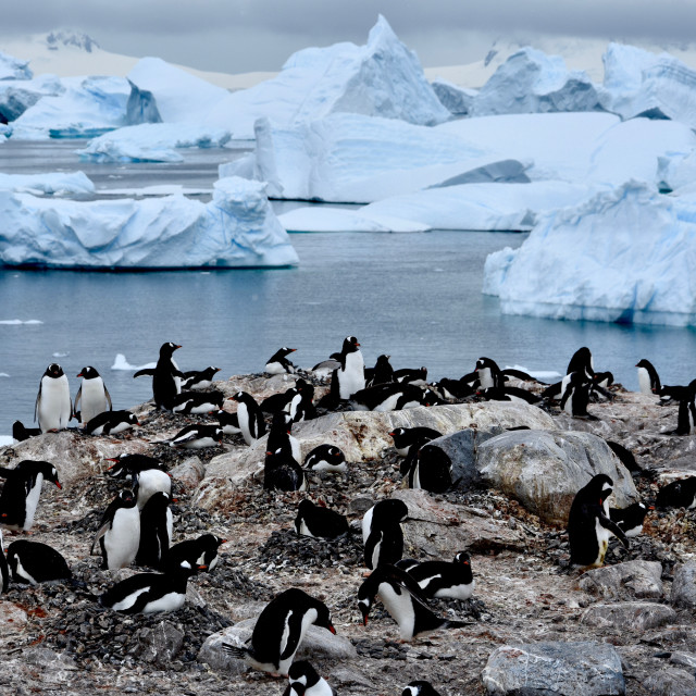 """Gentoo penguin colony with icebergs in background"" stock image"