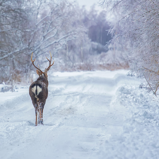 """""""Deers in the winter forest"""" stock image"""