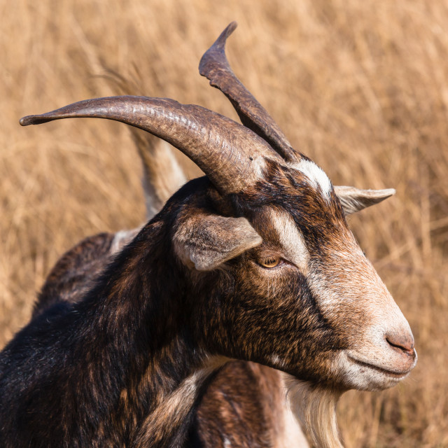 """Goat Head Animal Portrait"" stock image"