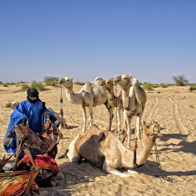 """Touareg with camels; Timbuktu, Mali, Africa"" stock image"