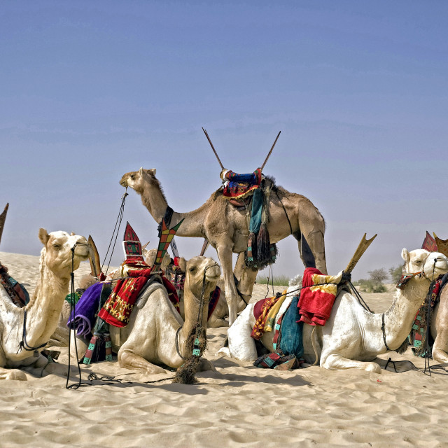 """Camels in the Sahara; Timbuktu, Mali, Africa"" stock image"