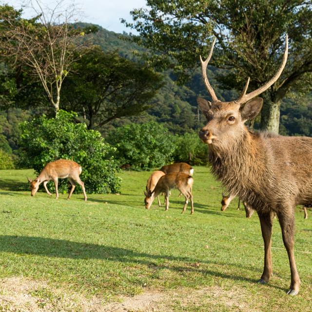 """Deer in mountain of Nara in Japan"" stock image"