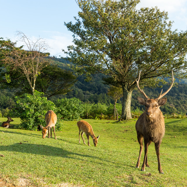 """""""Group of Doe Deer"""" stock image"""