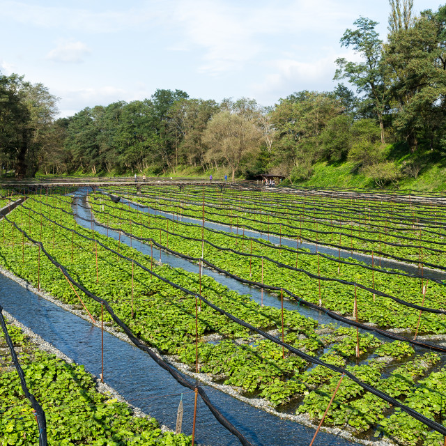 """Wasabi farm in Nagano of Japan"" stock image"