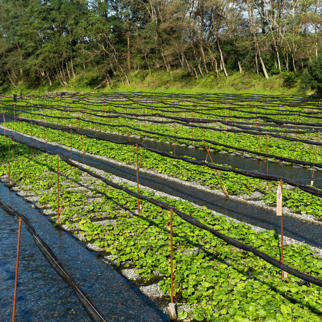 """Wasabi farm in Japan"" stock image"
