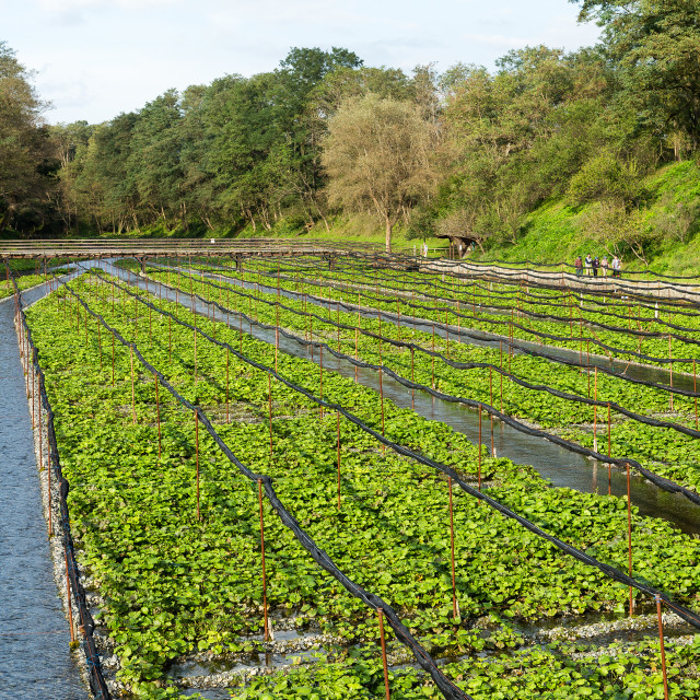 """Fresh Japanese Wasabi farm"" stock image"