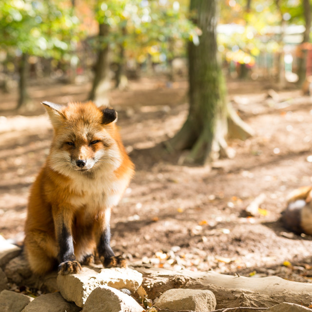 """""""Cute fox at outdoor in autumn"""" stock image"""