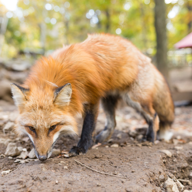 """""""Lovely fox"""" stock image"""