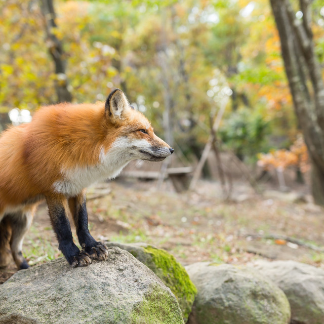"""""""Red fox standing on rock"""" stock image"""
