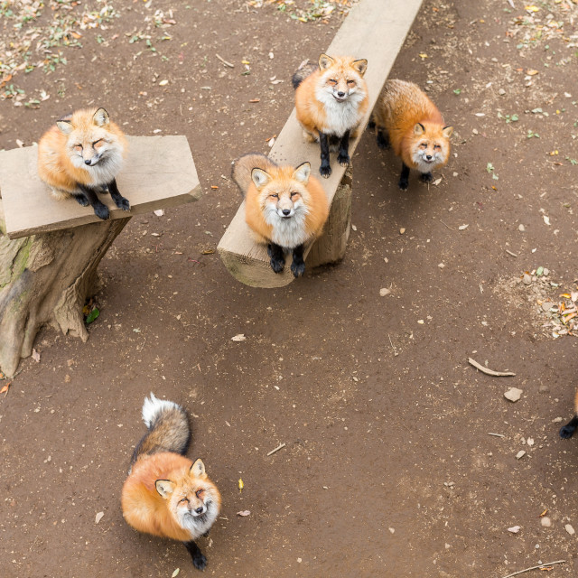 """""""Many fox looking for snack together"""" stock image"""
