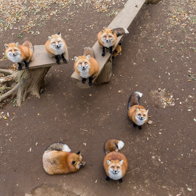 """""""Fox looking up"""" stock image"""