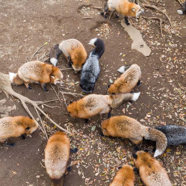 """""""Group of fox eating together"""" stock image"""