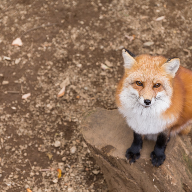 """""""Red fox close up"""" stock image"""
