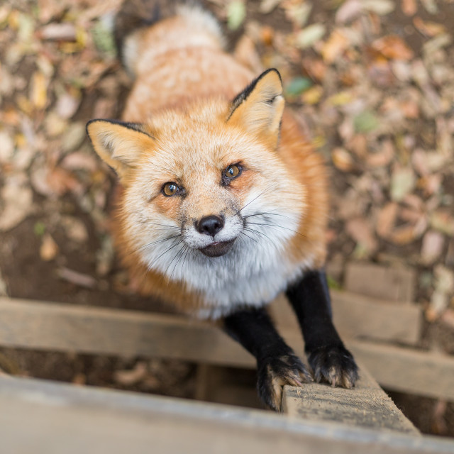 """""""Little fox looking up"""" stock image"""