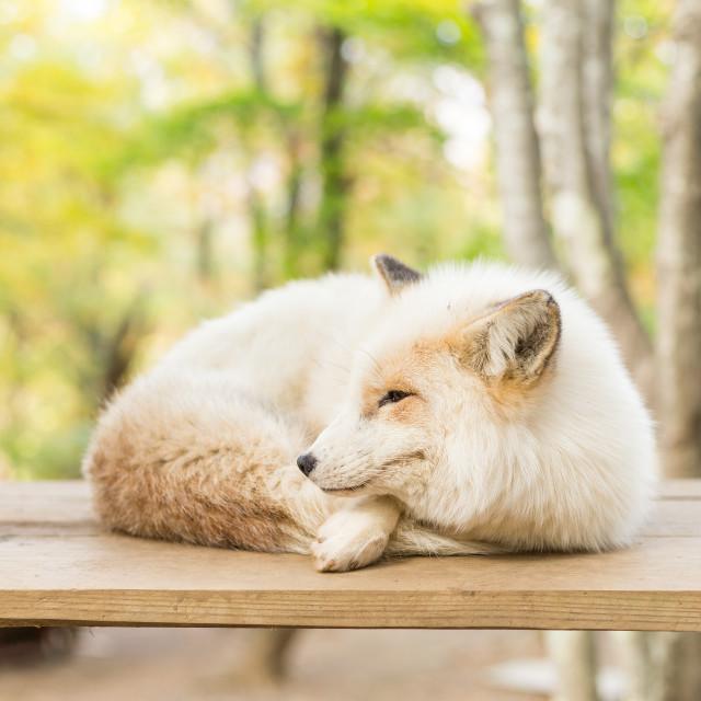 """""""Sleepy fox"""" stock image"""
