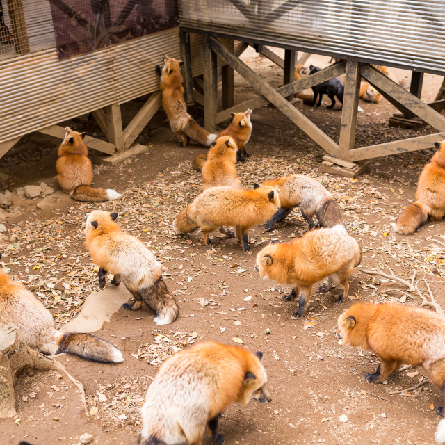 """""""Group of fox"""" stock image"""
