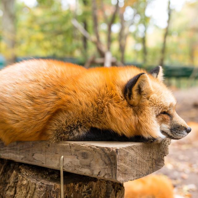 """Sleepy red fox"" stock image"