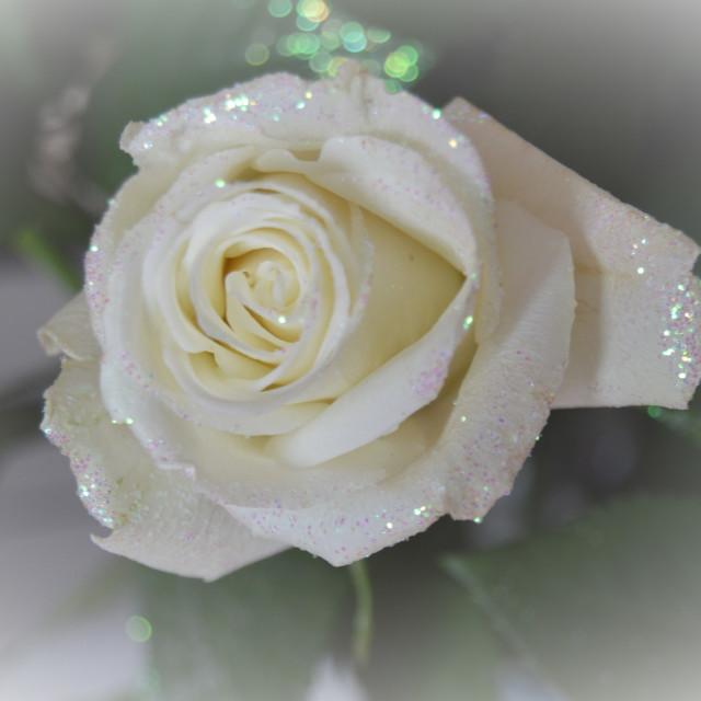 """Dreamy Rose"" stock image"