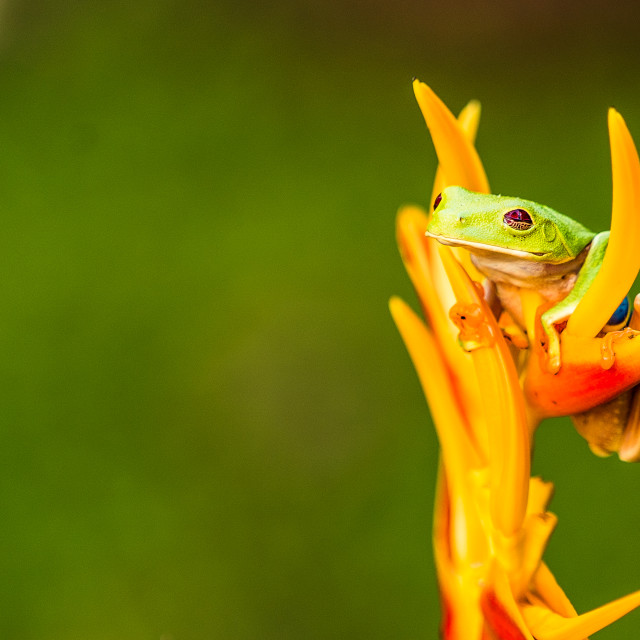 """""""Green Frog in Costa Rica"""" stock image"""