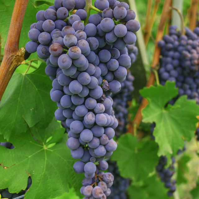 """blue grapes for wine"" stock image"