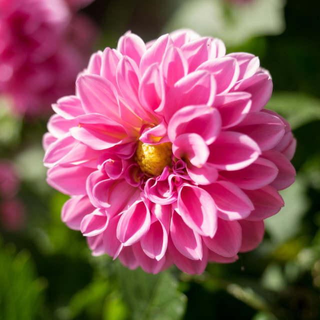 """""""Pink flower isolated"""" stock image"""