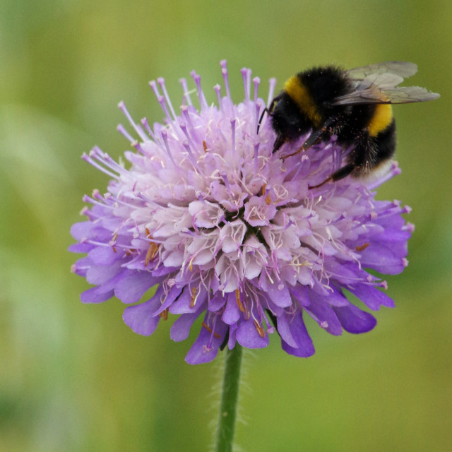 """Field Scabious"" stock image"