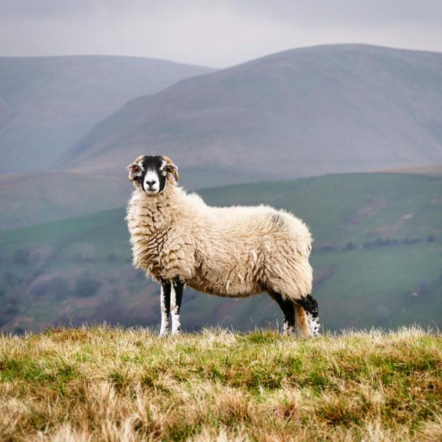 """""""Swaledale Sheep"""" stock image"""