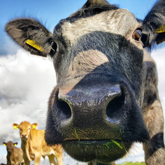"""Confident Cow"" stock image"