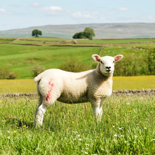 """Lamb in Meadow"" stock image"
