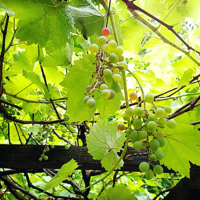 """Green vineyard background: pergola with grapes pending from plants"" stock image"
