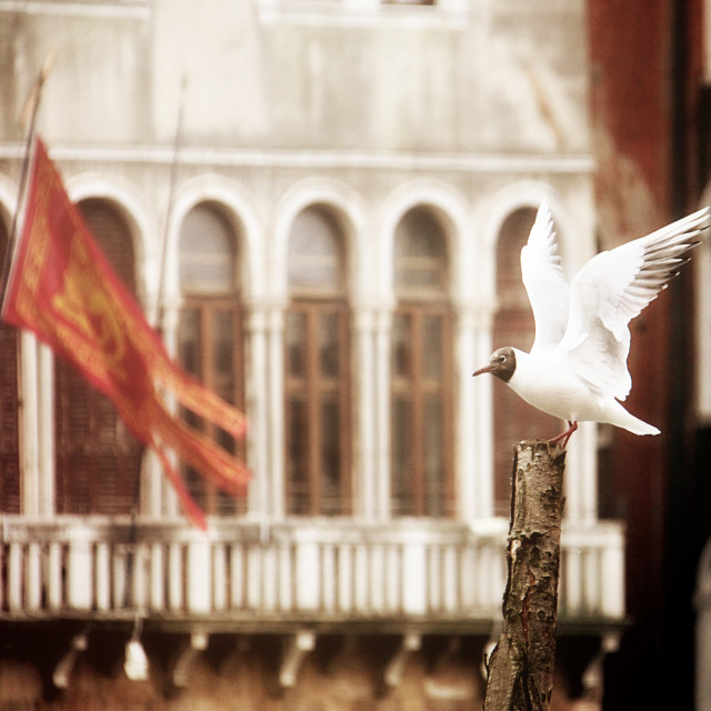 """Venice, urban seagull spreading winds"" stock image"