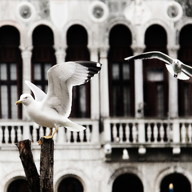 """seagulls on wooden pole in Venice"" stock image"