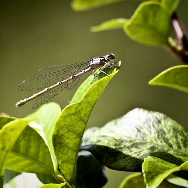 """Libellula, delicate dragonfly posed on leaf with ethereal wings, blurred..."" stock image"