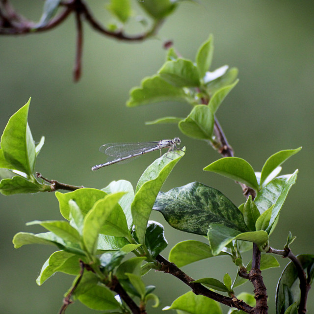 """Libellula, dragonfly with aethereal wings, posed on leaf, blurred background"" stock image"