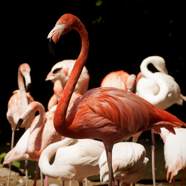 """Animal wildlife,flamingo portrait: pink-red flamingo standing out from other..."" stock image"