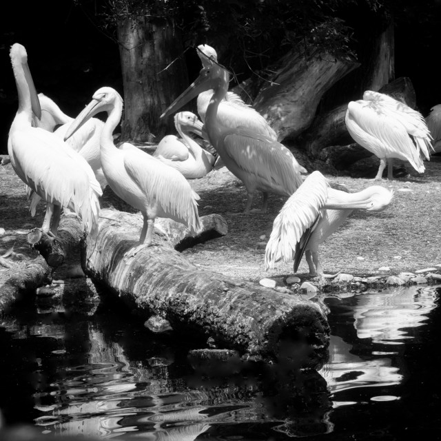"""Animal wildlife, white pelican colony near a pond. Pelicans are gregarious..."" stock image"