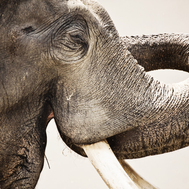 """Animal wildlife, Asian elephant portrait, close up"" stock image"