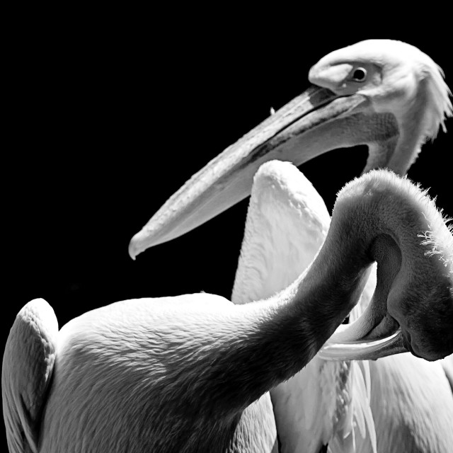 """Animal wildlife, two white pelicans portrait, one preening and the other..."" stock image"