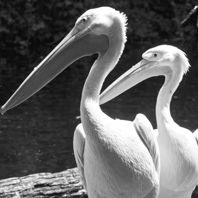 """Animal wildlife, two white pelicans portrait standing nearby. Pelicans are..."" stock image"