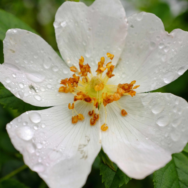 """Dog Rose"" stock image"