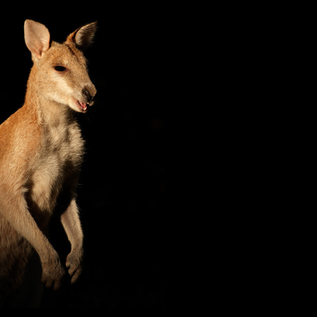 """""""Agile Wallaby on black"""" stock image"""