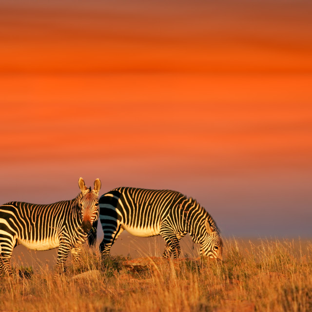"""Cape Mountain Zebras"" stock image"