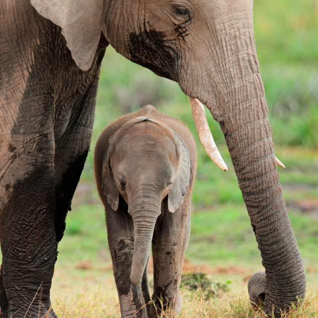 """""""African elephant with calf"""" stock image"""