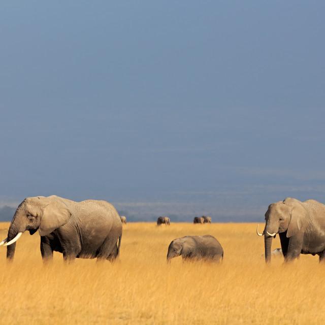 """African elephants in grassland"" stock image"