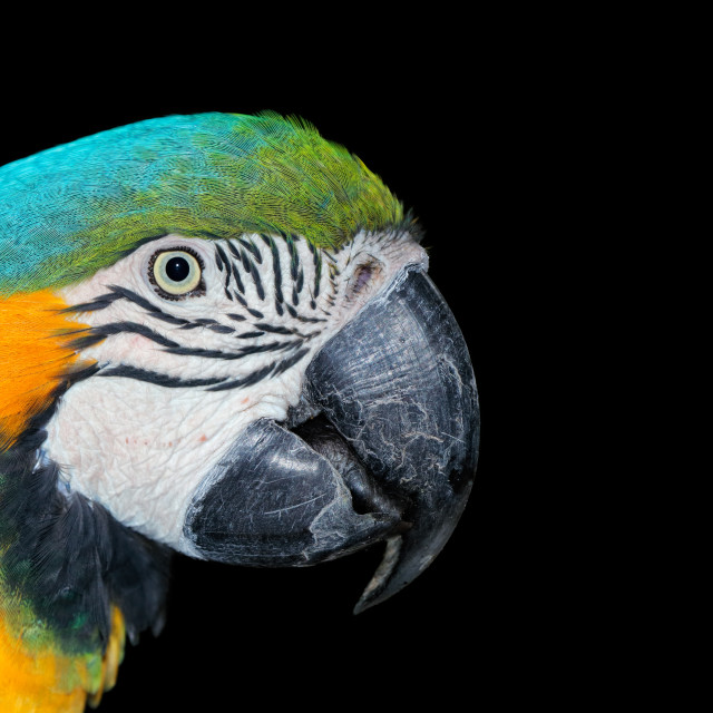 """""""Blue-and-yellow Macaw on black"""" stock image"""