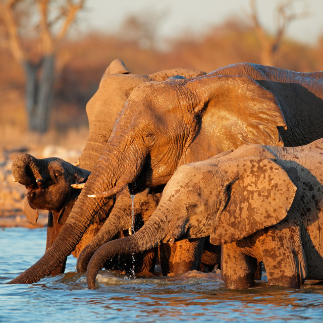 """Elephants drinking water"" stock image"