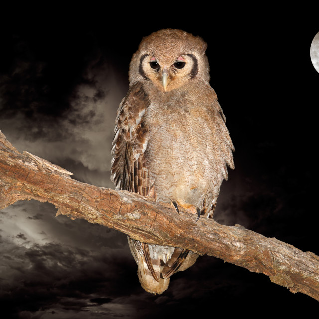 """""""Giant eagle-owl and moon"""" stock image"""