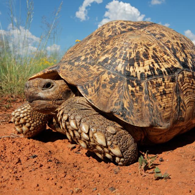 """Leopard tortoise"" stock image"