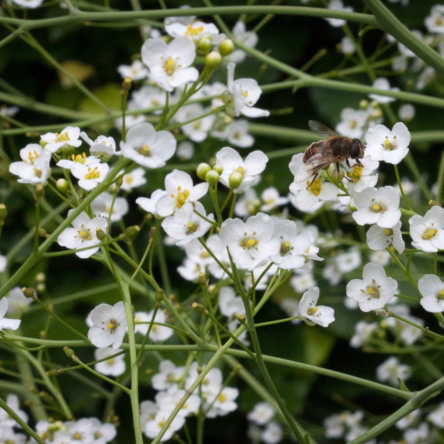 """""""Bee with Baby's Breath"""" stock image"""