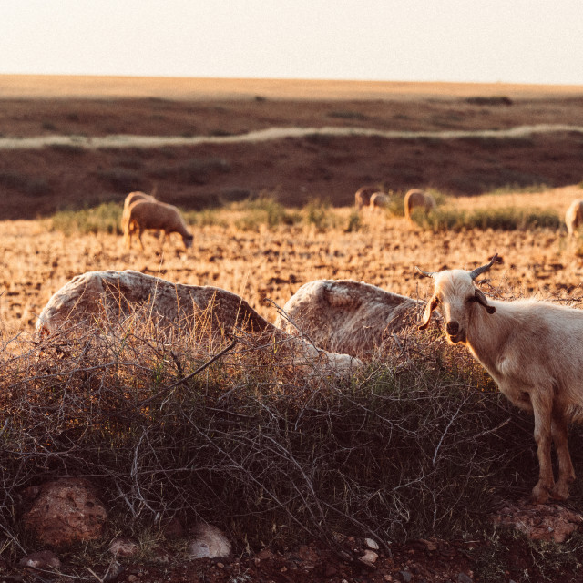 """Moroccan Goat"" stock image"